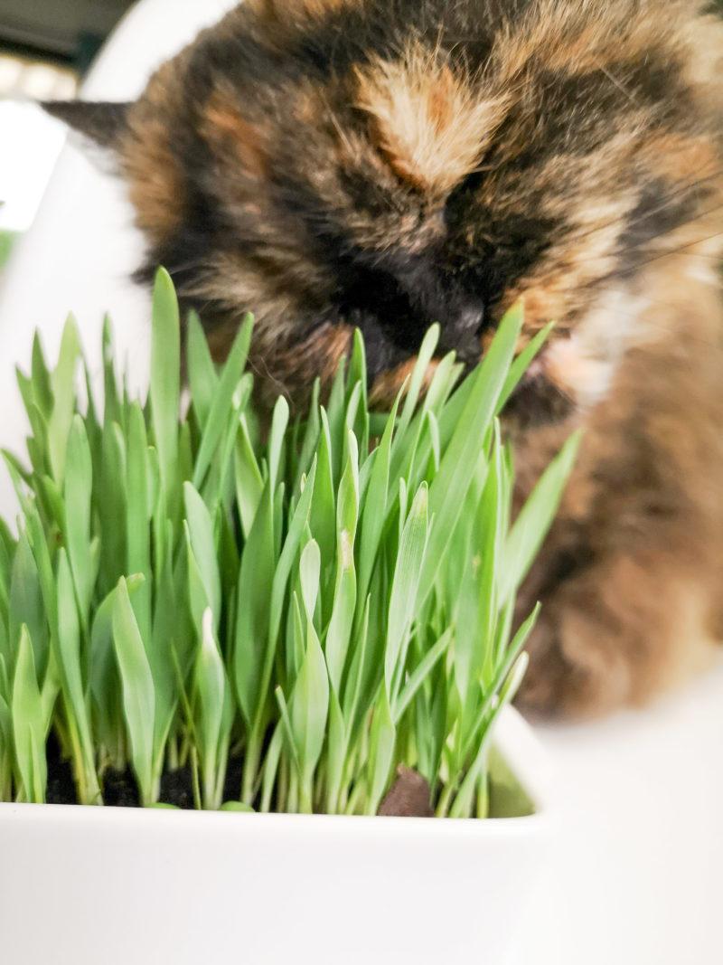 Herbe à chat Biologique avec chat persan